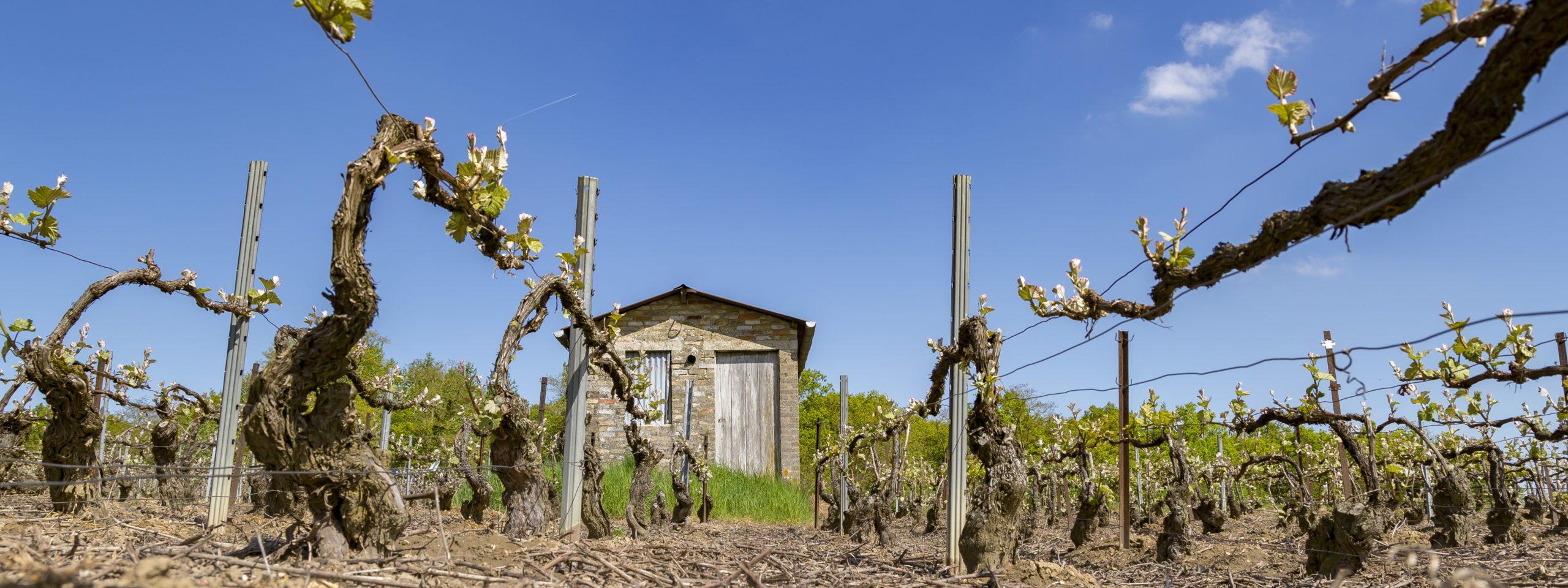 Les vignes Hotte-Schmit à l'ébourgeonnage et au fond, une petite cabane en pierre
