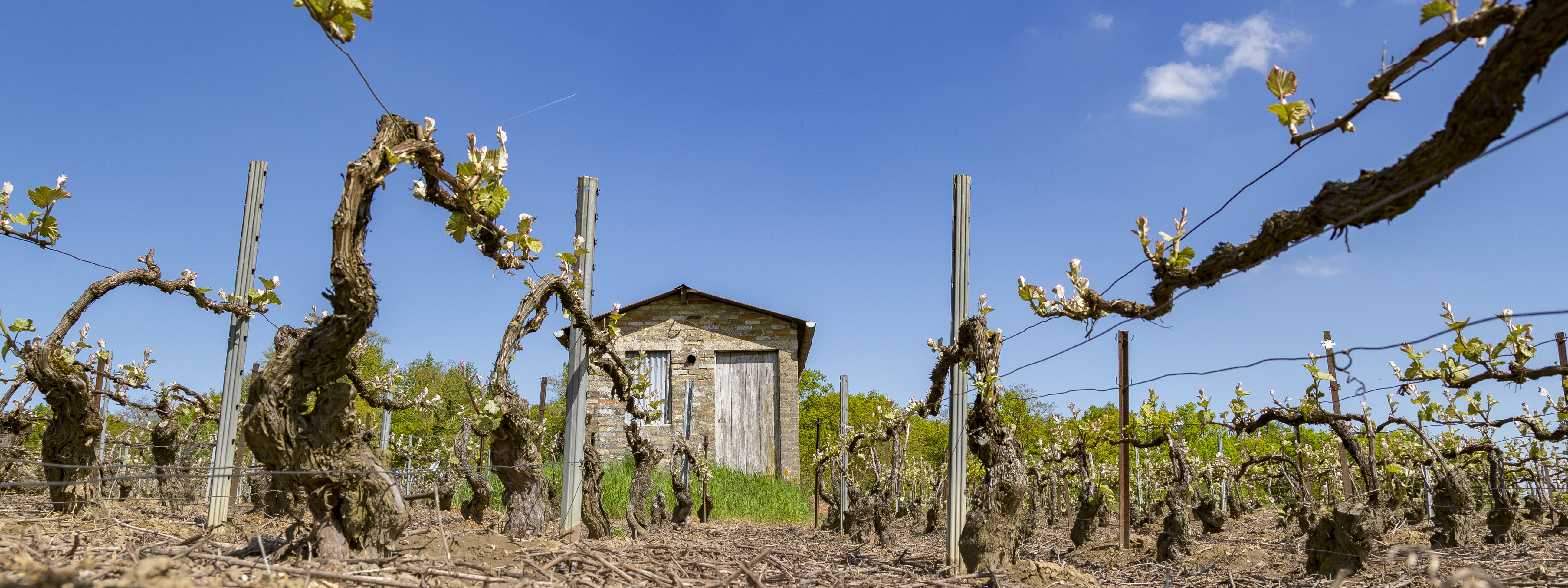 Les vignes Hotte-Schmit à l'ébourgeonnage et, au fond, une petite cabane en pierre